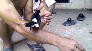 burung murai batu jinak