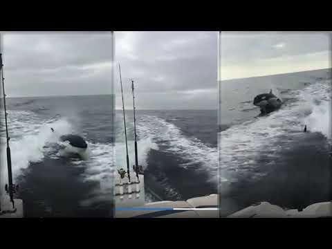 El terrorífico momento en que varias orcas siguen a pescadores