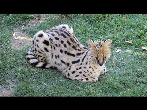 South Africa - Play with a Serval
