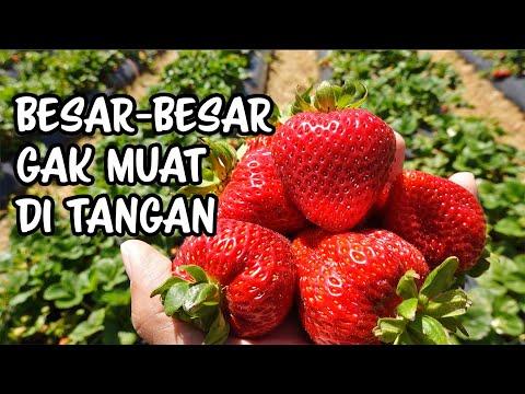 petik-strawberry-besar2-berasa-kebun-sendiri