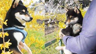 1年振りの満開の桜 | 柴犬の成長に感動【豆柴暮らし】