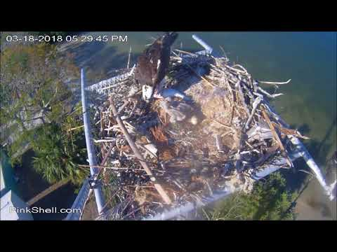 Pink03-18-18/ 17:20 Dad deliver evening fish and long feeding starts
