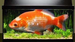 Wie viele Fische passen ins Aquarium?