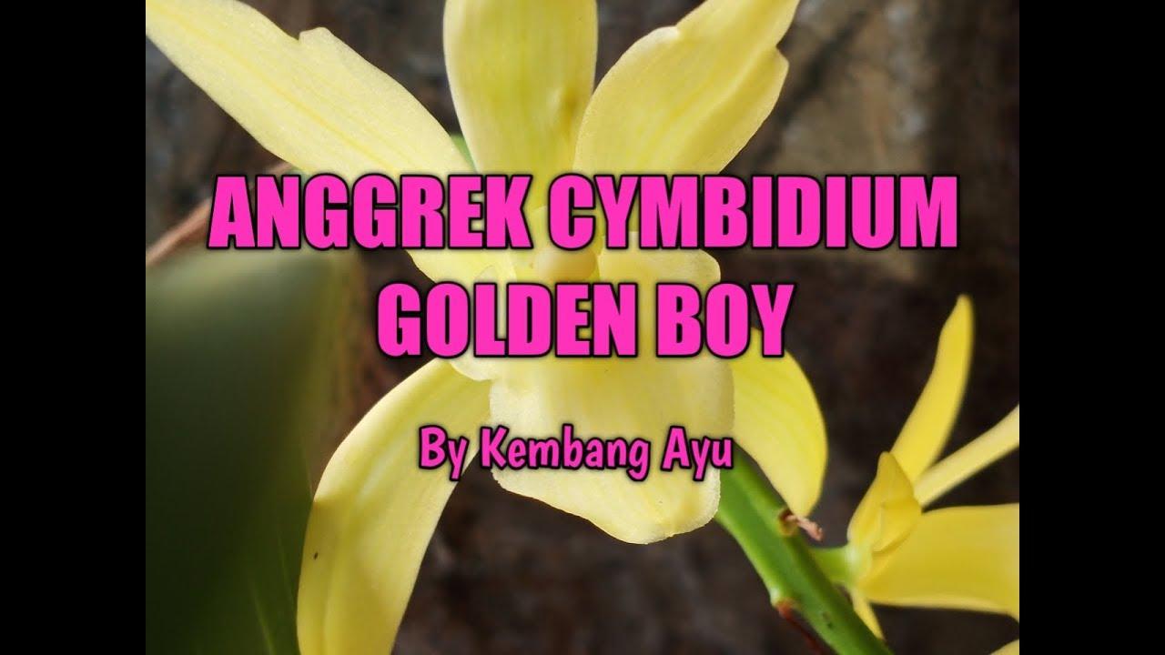 Anggrek Cymbidium Golden Boy Youtube