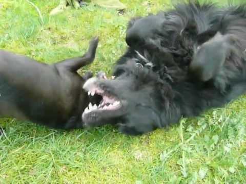 Chug Dog For Sale Sydney