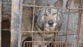 Кинолог о волкособе и служебных собаках