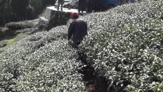 Tea cultivator 征服阿里山系列四 Conquered Taiwan Alishan tea plantation (altitude 1,200~1,400 m) 中耕機