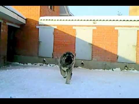 Caucasian sheep-dog puppy, male. 3