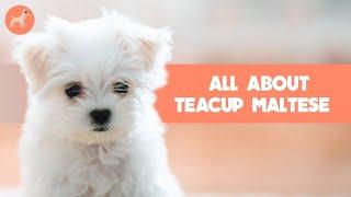 Teacup Maltese: Dog Breed Info
