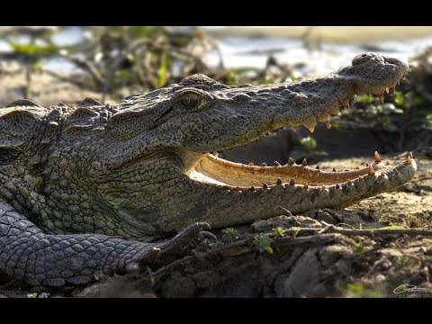 Realm Of The Mugger Crocodile - Nature Documentary