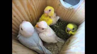 Crescimento de crias de periquitos