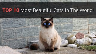 Most Beautiful Cats – Top 10 Most Beautiful Cat Breeds In The World 2020!