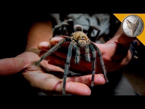 Thumbnail: Giant Tarantula Shows Its Fangs!