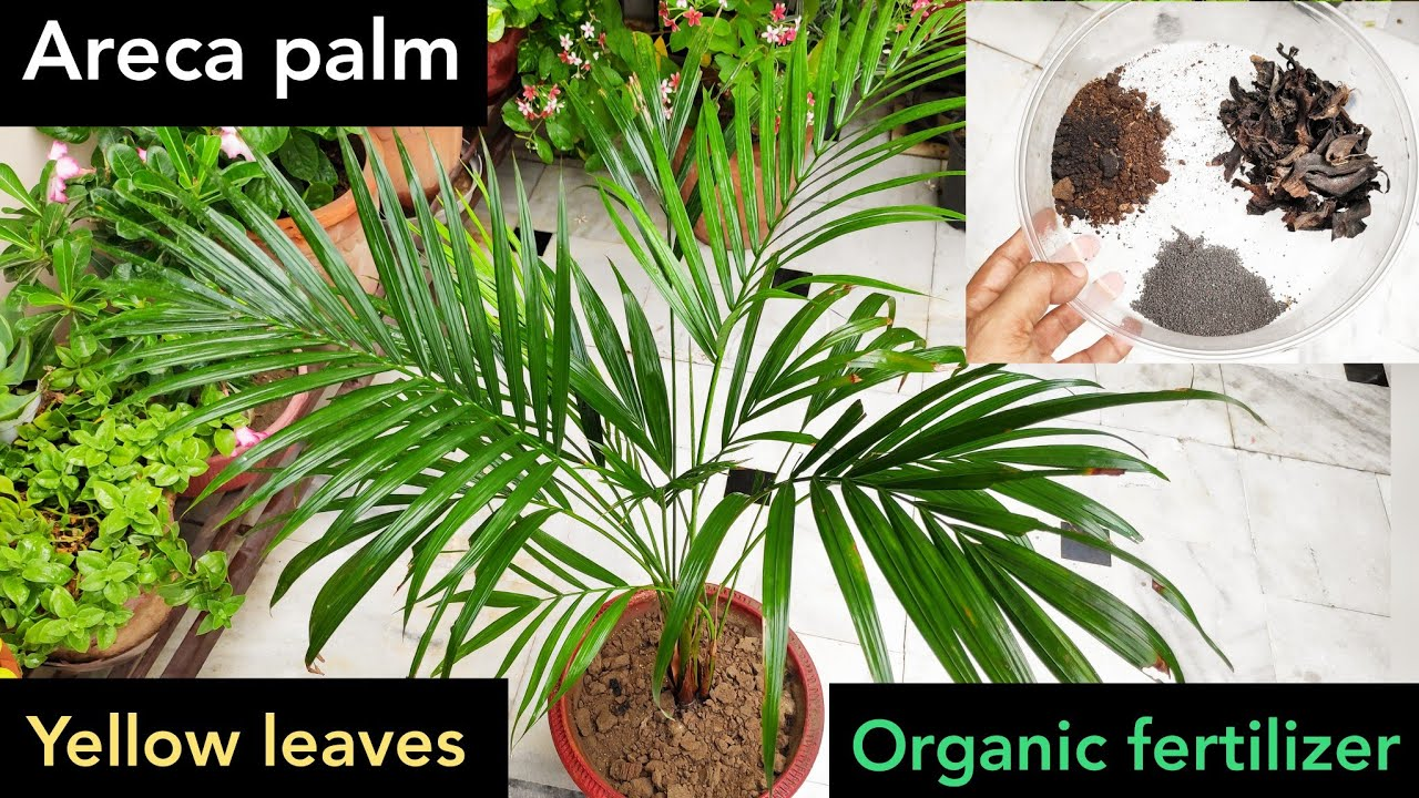 Areca Palm Care Best Fertilizer 4 Areca Palm Plant To Make Bushy N Green Palm Tips Turning Brown Youtube