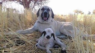 Sivas Kangal Köpeği - Kangal Aşkı