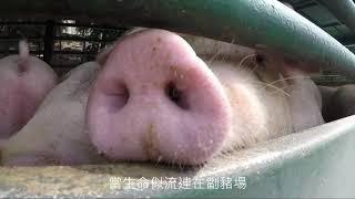 紀念6000條被奪去的生命|幸福劏豬場