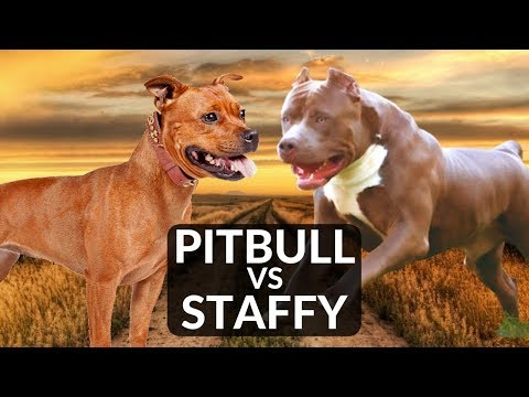 Staffordshire Bull Terrier vs Pitbull Terrier