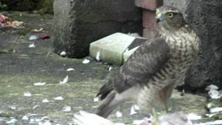 Sparrowhawk eating pigeon fighting off scavenging magpies Thumbnail