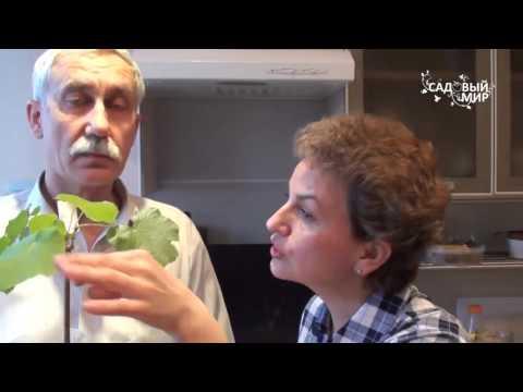 Как хранить саженцы винограда до посадки