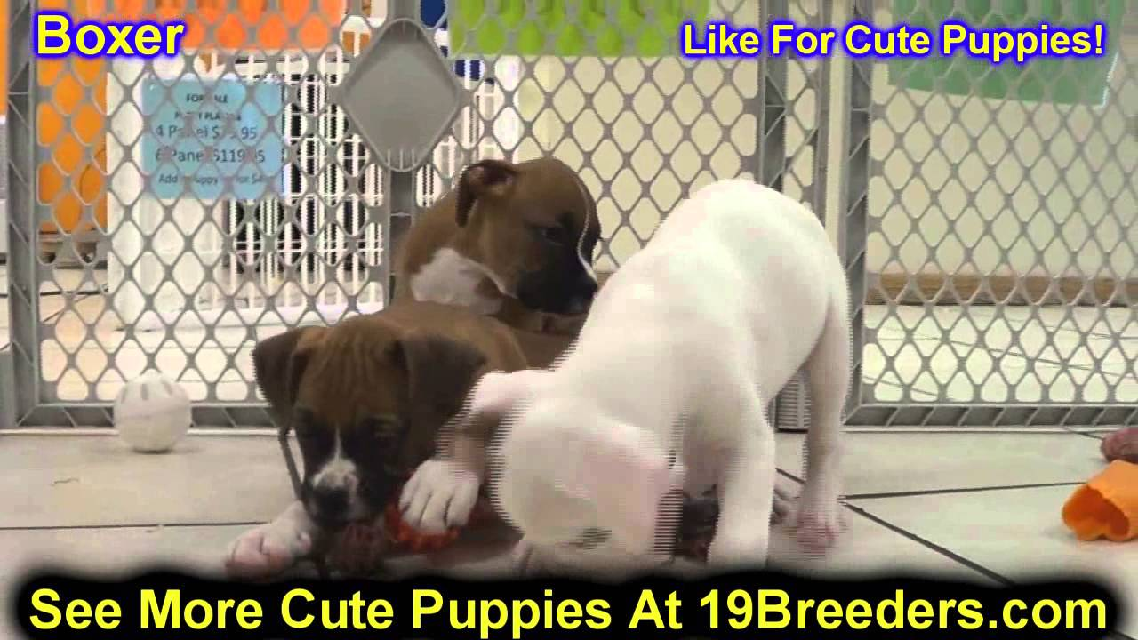 Boxer Puppies Dogs For Sale In Newark New Jersey Nj