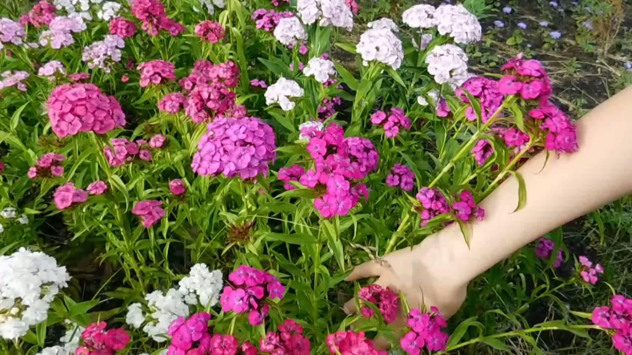 Турецкие гвоздики цветы 31