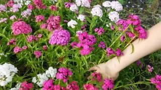 видео Гвоздика - посадка, выращивание, уход и размножение