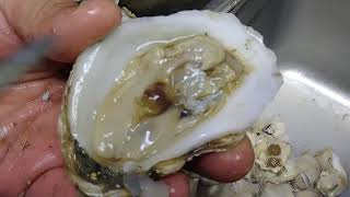 Tiny crab living in an oyster