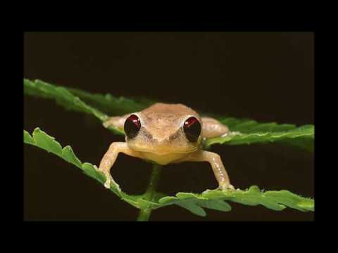 Coqui Ringtone | Ringtones for Android | Animal Ringtones
