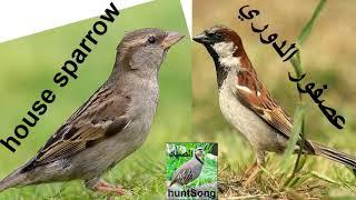 صوت عصفور الدوري call song house sparrow