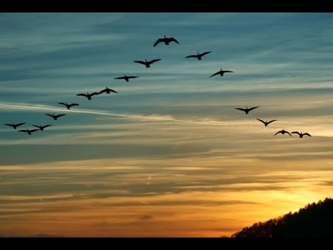 Birds Fly in V Formation Finally