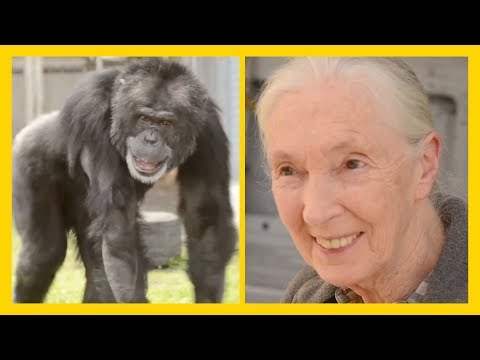 Rescued Chimpanzee Joe Meets Jane Goodall