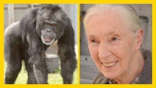 Rescued Chimpanzee Joe Meets Jane Goodall