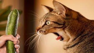 Kediler Salatalıktan Neden Korkar? Bunu Kedilere ASLA YAPMAYIN!