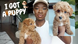 I GOT A PUPPY   PUPPY DELIVERY HORROR STORY & FIRST 24HRS WITH 8WEEK OLD HAVAPOO