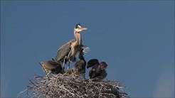 Feeding Time at the Great Blue Heron Nest