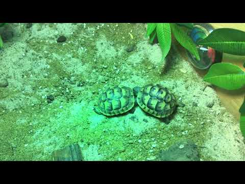 Aggressive Hatchling Tortoise Behaviour