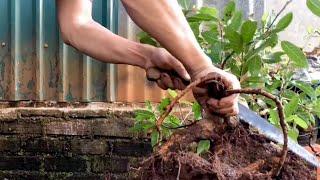 Phá rễ cây sung và đưa vào diện chăm sóc đặc biệt