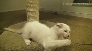 Scottish Fold Kitten Slo-mo Thumbnail