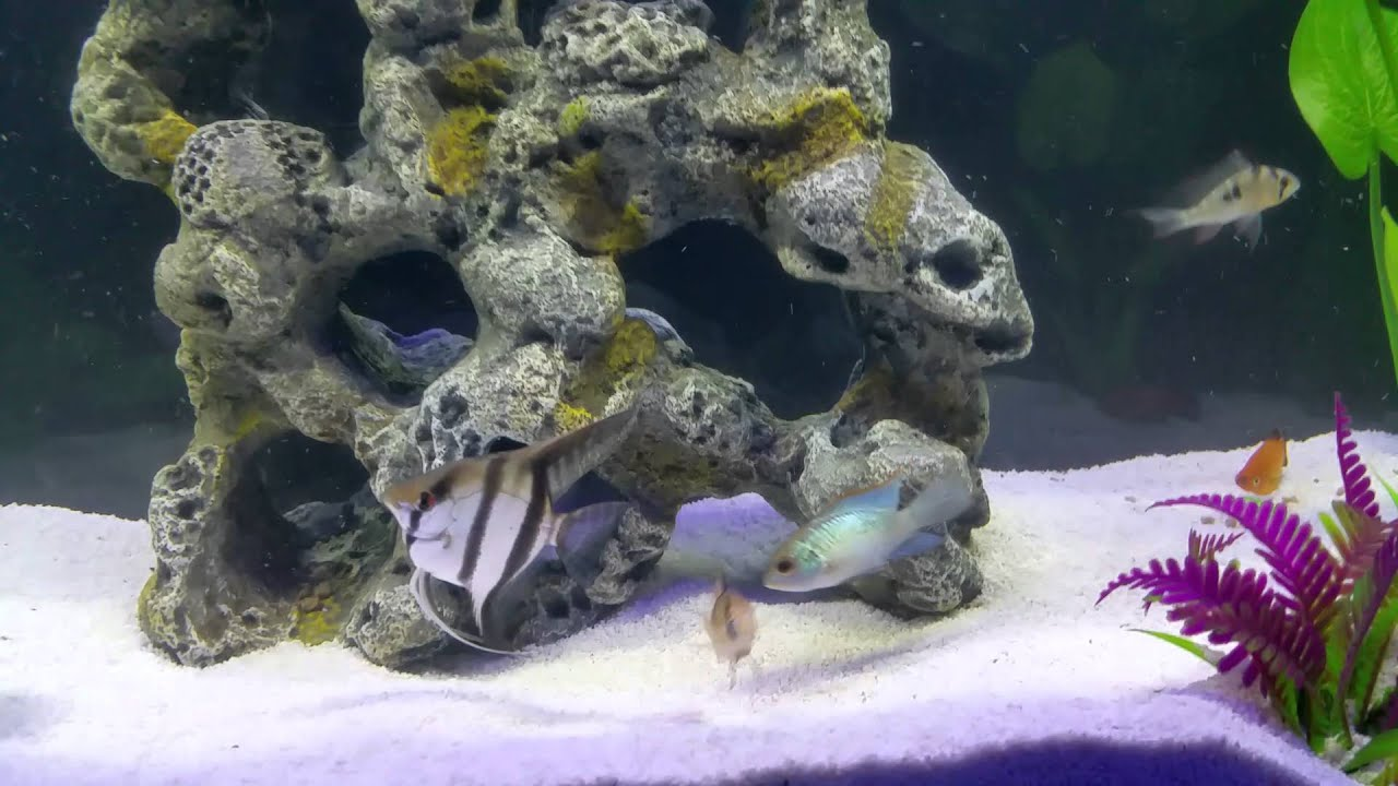 Electric Blue Ram Fish T Electric Blue Fish And Aquariums