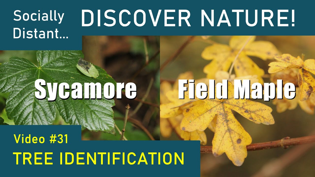How to identify UK trees: Sycamore and Field Maple