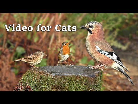 Videos for Cats : Birds Tweeting in The Forest - 9 Hours