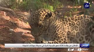 الإعلان عن ولادة ثلاثة نمور فارسية نادرة في حديقة حيوانات لشبونة (17/11/2019)