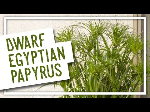 Dwarf Egyptian Papyrus with Stacey