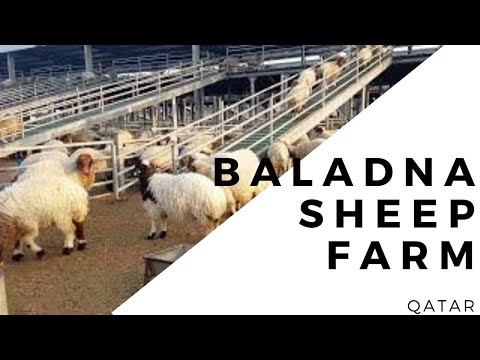 Sheep farm | dairy farm Qatar | Baladna farm | animal husbandry