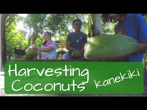 Harvesting Coconuts at Kanekiki Farm in Hawaii