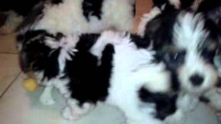 Biewer Yorkshire Terrier Kiskutyák