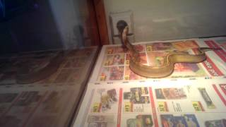 champagne ball python wobble