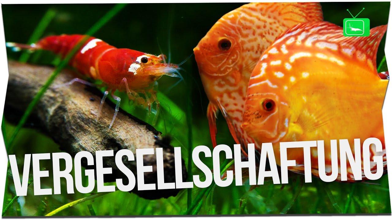 Garnelen Mit Fischen Und Krebsen Zusammenhalten Garnelentv Youtube