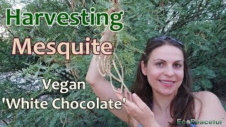 Desert Wild Harvesting Mesquite Pods (Vegan 'White Chocolate' )  in Las Vegas