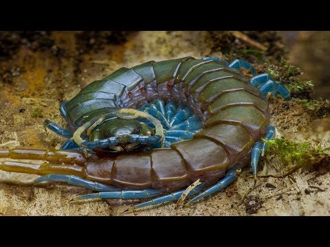 Top 8 Biggest Centipede In The World | Did You Know ??? | Did You Know ???